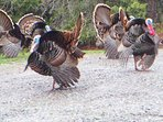Wild turkeys. A delight to watch