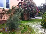 Front garden includes olive, guava & Meyer lemon trees, roses, camellia & bougainvilla