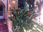 Lovely entrance to tri-level home, with welcoming Bird of Paradise bush.