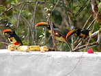 Toucans having a feast on deck