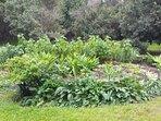 goddess garden with yacon, turmeric, ginger, comfrey and hawaiian chili