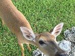 Daily visitors, key deer
