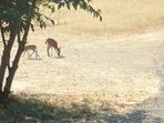 Deer Looking for apples
