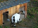 Lili,chèvre naine