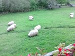las ovejas pastando
