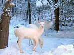 Ghosts in the Northwoods  - Albino Deer or 'White Deer'