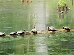 Turtles sunning on the log in our bay.