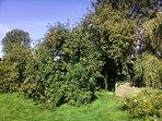 Im Garten gibt es einige alte Obstbäume und ... // In the garden find many old fruit trees and ...