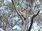 Koala and baby from our house