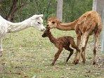 Our alpacas, Rocky, Matilda and Storm (just born)