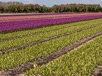 Les champs de fleurs à La Torche