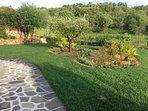 aiuola di macchia mediterranea con ulivo ed olivastro sullo sfondo