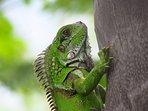 Iguana on Montserrat.