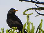 Turdus Merula or 'Black Bird' on our tree