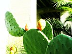 Prickly pears, not to be ignored!