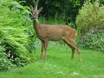 Cheeky deer munching in the garden!