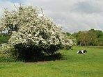 Ook de enorme meidoorn in de wei kan prachtig bloeien.