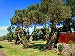 1500-year old olive trees