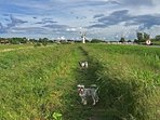 Walks along the river bank towards Thurne Drainage Mill