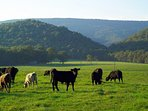 Black angus cows roaming the pastures