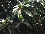 Some of the  many friut trees in the garden area you can get fresh mangoes and avocados