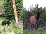 See bear or elk in RMNP which is just a mile away.