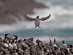 Guillemots nestling on the nearby limestone cliffs - a coastline voted 2nd best in the world