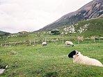 Torrin sheep