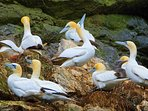 Gannet's at the rocks near the Temple