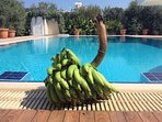 Bananas from Hera Kyrenia Gardens.