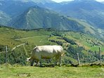 Transhumance is still practised in the Pyrenees. Cattle, sheep, goats, horses and llamas roam free.