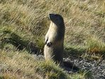 Everyone loves to spot the Marmots who live in burrows in the high pastures.