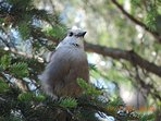Whiskey Jack, Camp fire Robber, Grey Jay. All names of this friendly bird and Canada's national bird