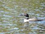 Our summer months Loon resident and usually two babies