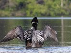 Our beautiful resident loon family of three or four.