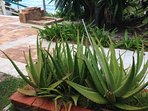 Get a bit too much sun?  Many aloe plants grow by the pool....take advantage