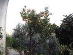 ORANGE TREE in the garden below