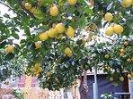 Lemon scent in the citrun garden