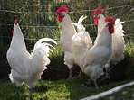We keep chickens, ducks and geese. Here are some of our Bresse Galloise cockerels