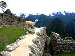 Llama walking around Machu Picchu Sanctuary.