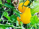Organic Vegetable Garden!