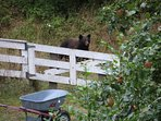 Apple season and look who showed up! Another guest photo, first time in 70 years we saw 'our bear.'
