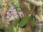 Les orchidées de la maison