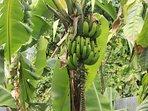 Le régime de bananes de la maison