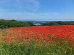 Early summer poppy fields just outside Dittisham.