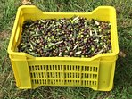 our last crop of olives
