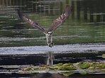 Osprey catching supper.
