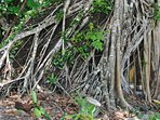 Huge tree root system