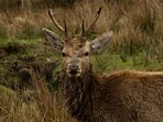 Red Deer stag, taken from outdoor decking area