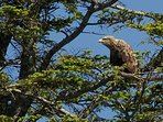Sea Eagle Loch Shiel
